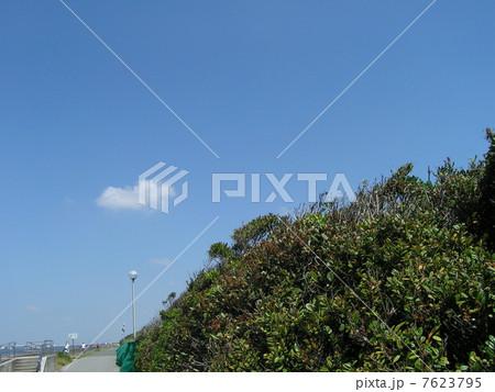 青空に白雲の検見川浜にハマヒサカキの緑色 7623795