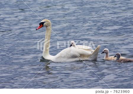 背中に雛を乗せて泳ぐ親子の白鳥 7623960