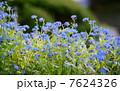 ワスレナグサ 花言葉:真実の愛 Myosotis scorpioides 7624326
