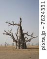 バオバブの木 大木 木の写真 7624331