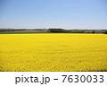 菜の花畑 7630033