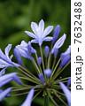アガパンサスの花 7632488