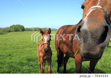 馬の親子 かわいい子馬と母馬の鼻アップ 7644334