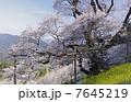 瓢箪桜 一本桜 桜の写真 7645219