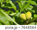 ハート型の桃の実 7648564