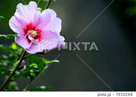 夏の花 ムクゲ 7650268