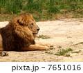 laying lion 7651016