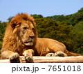 laying lion 7651018