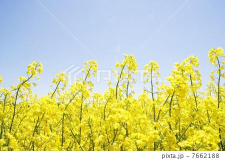 菜の花、やわらかな印象 7662188