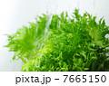 葉野菜 フリルレタス グリーンリーフの写真 7665150
