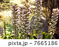 葉薊 アカンサス 花の写真 7665186