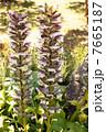 葉薊 アカンサス 花の写真 7665187