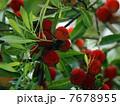 果物 果実 山桃の写真 7678955