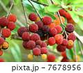 果物 果実 山桃の写真 7678956