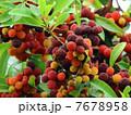 果物 果実 山桃の写真 7678958