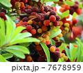 果物 果実 山桃の写真 7678959