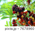 果物 果実 山桃の写真 7678960
