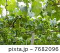 葡萄棚 葡萄の木 果物の写真 7682096