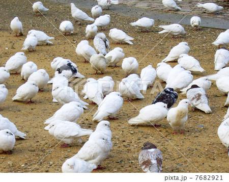 白い鳩の写真素材 [7682921] - PIXTA