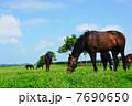 サラブレッド 競走馬 動物の写真 7690650