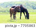 サラブレッド 競走馬 馬の写真 7705863