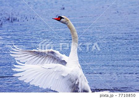 羽を広げて威嚇する白鳥 7710850