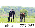 子馬 サラブレッド 競走馬の写真 7731267