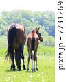 子馬 サラブレッド 競走馬の写真 7731269