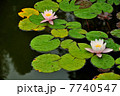 Water lilies on a pond 7740547