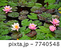 Water lilies on a pond 7740548