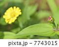 百日草のツボミ 7743015