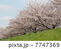 綾瀬川の桜2011年3月 7747369