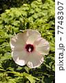 アメリカフヨウの大輪の花 7748307