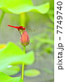 蓮と赤とんぼ 7749740