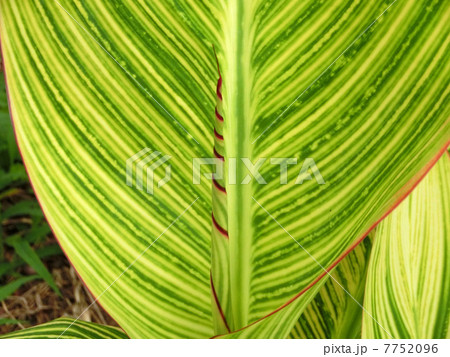 美しい縞模様のカンナの葉 7752096