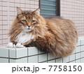 塀にのった大きな猫 7758150