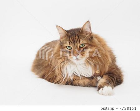 大きな茶色い猫 7758151