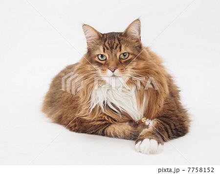 大きな茶色い猫 7758152