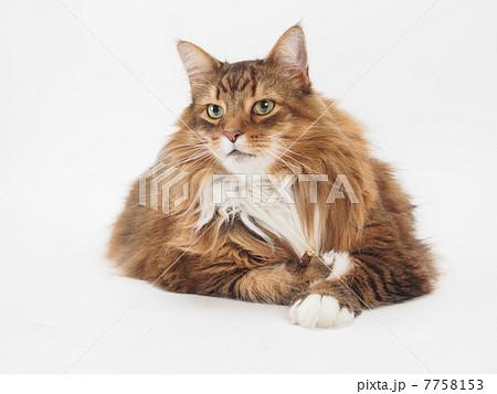 大きな猫 7758153
