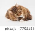 カメラを見る大きな猫 7758154
