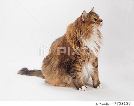 お座りした大きな猫 7758156