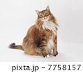 お座りした大きな猫 7758157