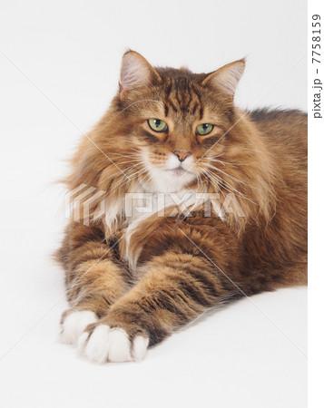 前足をだす大きな猫 7758159