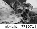 家の中のシュナウザー05(すまし顔・モノクロ) 7759714