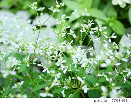 雪華草:ダイアモンドフロスト 花言葉:君にまた会いたい Euphorbia hypericifolia 7763498
