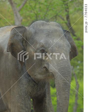 ゾウの顔 7764033