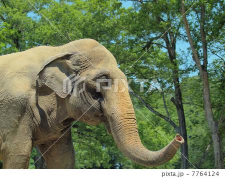 長い鼻を振るアジアゾウ 7764124