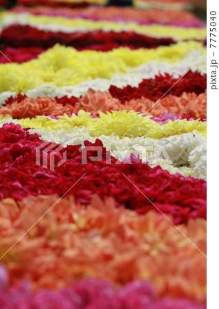 ダリア花のじゅうたんの写真素材 [7775040] - PIXTA