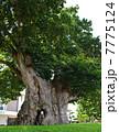 巨樹 木 大木の写真 7775124