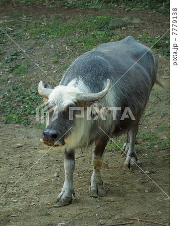 スイギュウ (家畜種 メス) 7779138